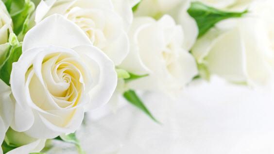 Лепесток белой розы