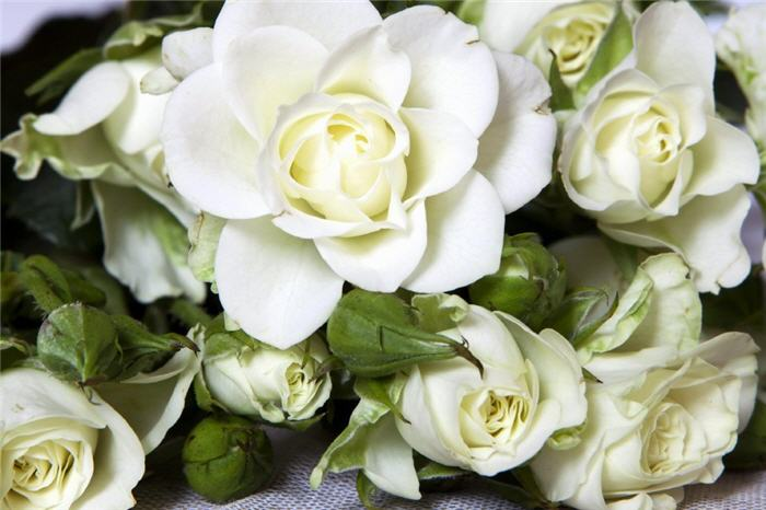 Лепесток белой розы1