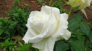 Лепесток белой розы2