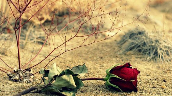 увядания розы